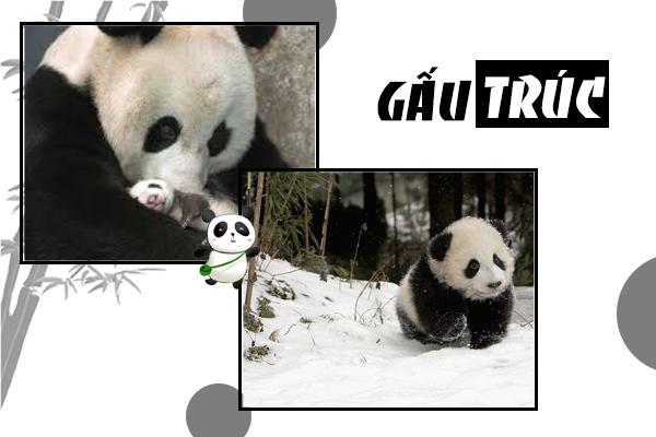 panda, panda là gì, gấu panda, gấu trúc panda, gấu truc panda, gấu trúc trung quốc, trung quốc cho thuê gấu trúc, trung quốc tặng gấu trúc, gấu trúc ăn gì, gấu trúc là quốc bảo của trung quốc, gấu trúc quốc bảo của trung quốc, gấu trúc trung hoa, gấu trúc chỉ có ở trung quốc, gấu trúc nhỏ, gấu trúc dễ thương, gấu trúc sống ở đâu