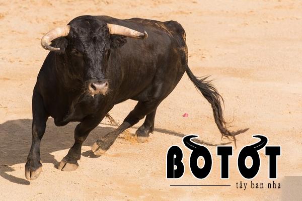bò tót, con bò tót, bò tót tây ban nha, bò tót khổng lồ, con bò tót tây ban nha, bò tót có bị mù màu không, bò tót nặng bao nhiêu kg, bò tót đánh nhau, bò tót mù màu, bò tót húc người ở tây ban nha