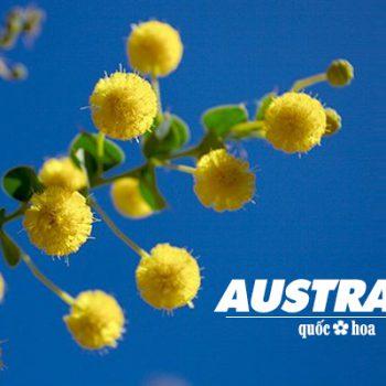 golden wattle, quốc hoa úc, quốc hoa của úc, quốc hoa của australia, keo vàng, cay keo vang, keo vang, hoa keo vàng nước úc, keo hoa vàng, cây keo hoa vàng
